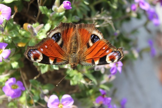 peacock-butterfly-283805_960_720